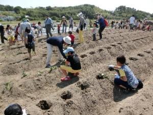 ふれあい農園でさつま芋栽培