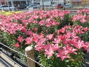 ゆりの花がいっぱい